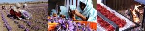 Cách thu hoạch Saffron dẫn đến giá cả đắt đỏ
